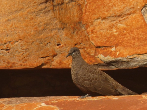 White-quilled Rock Pigeon