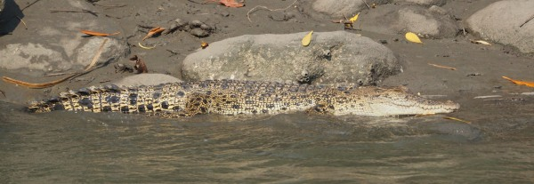 Estuearine Crocodile