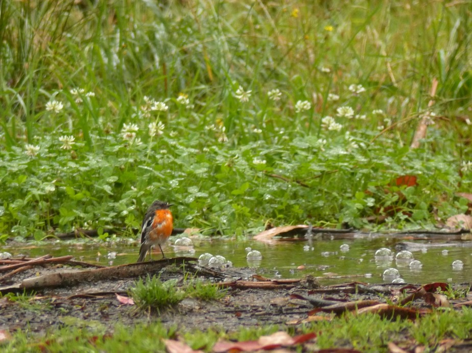 Wet Flame Robin
