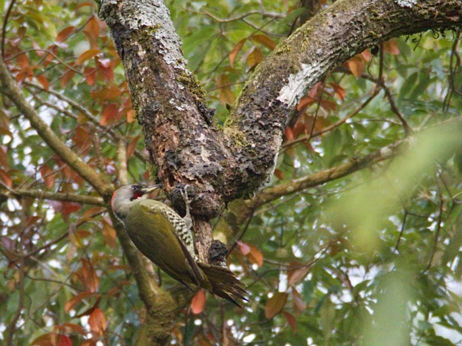 Japanese Woodpecker