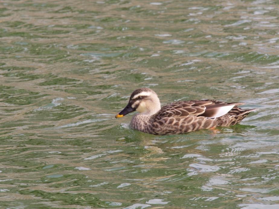 Eastern Spot-billed Duck