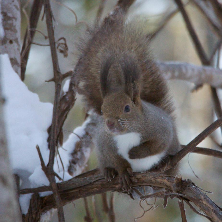 Red Squirrel (Sciurus vulgaris orientis)