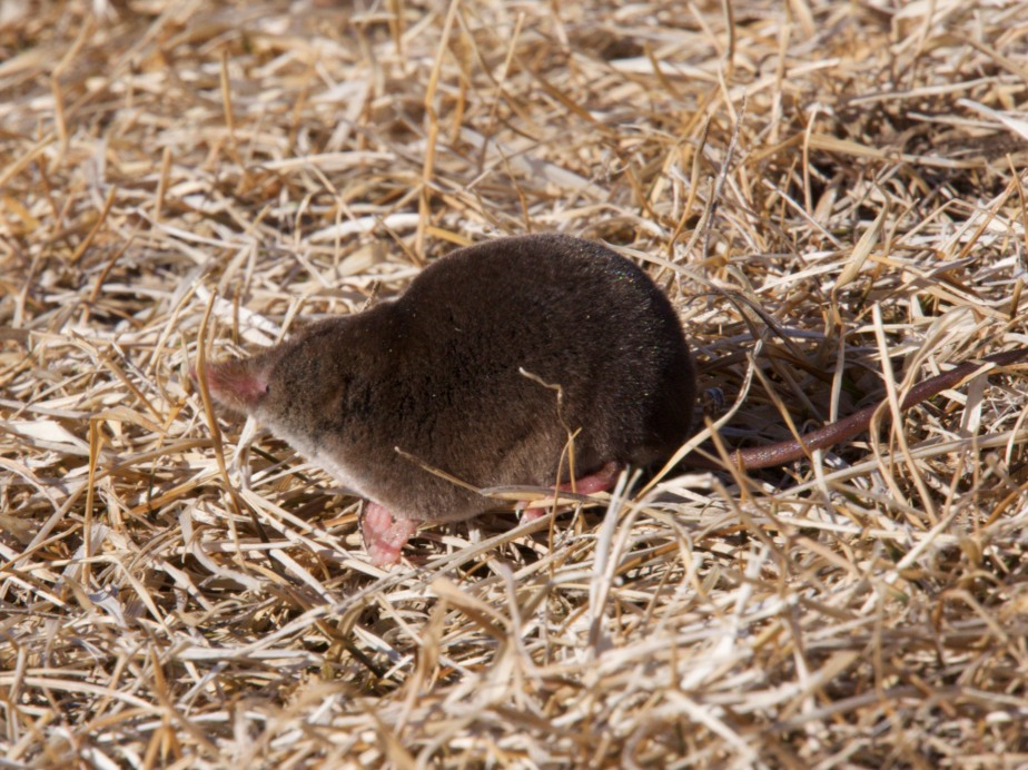 Long-clawed Shrew