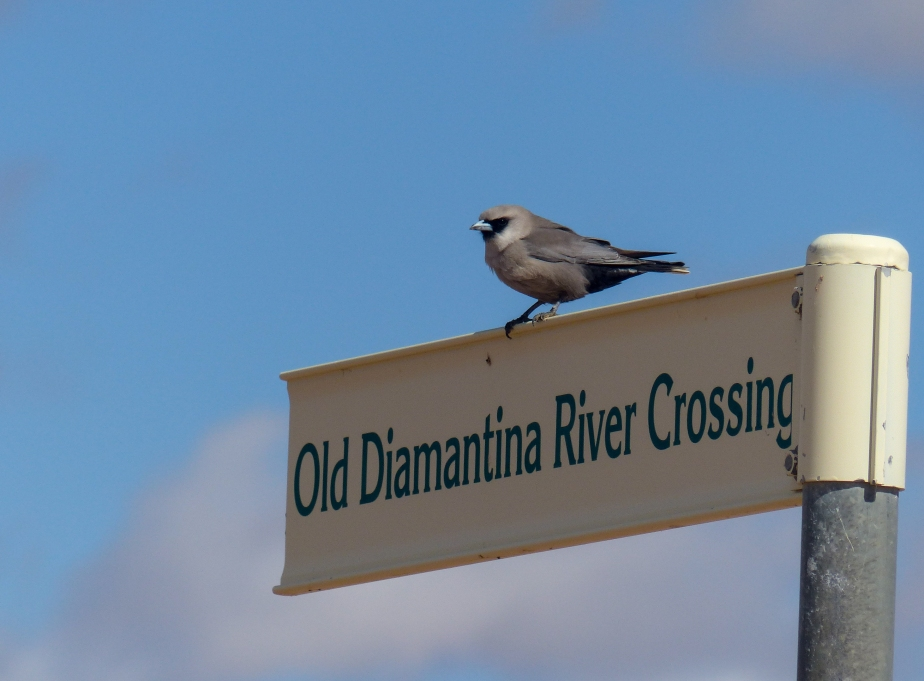 Black-faced Woodswallow (photo - TLG)