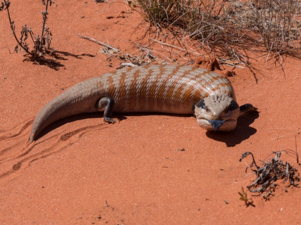 Central Blue Tongue