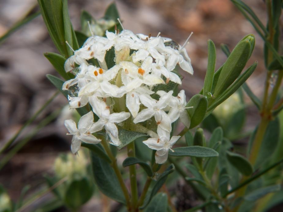 Common Riceflower