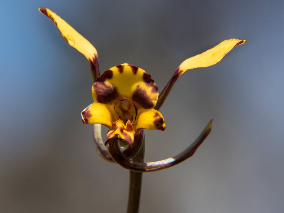 Leopard Orchid