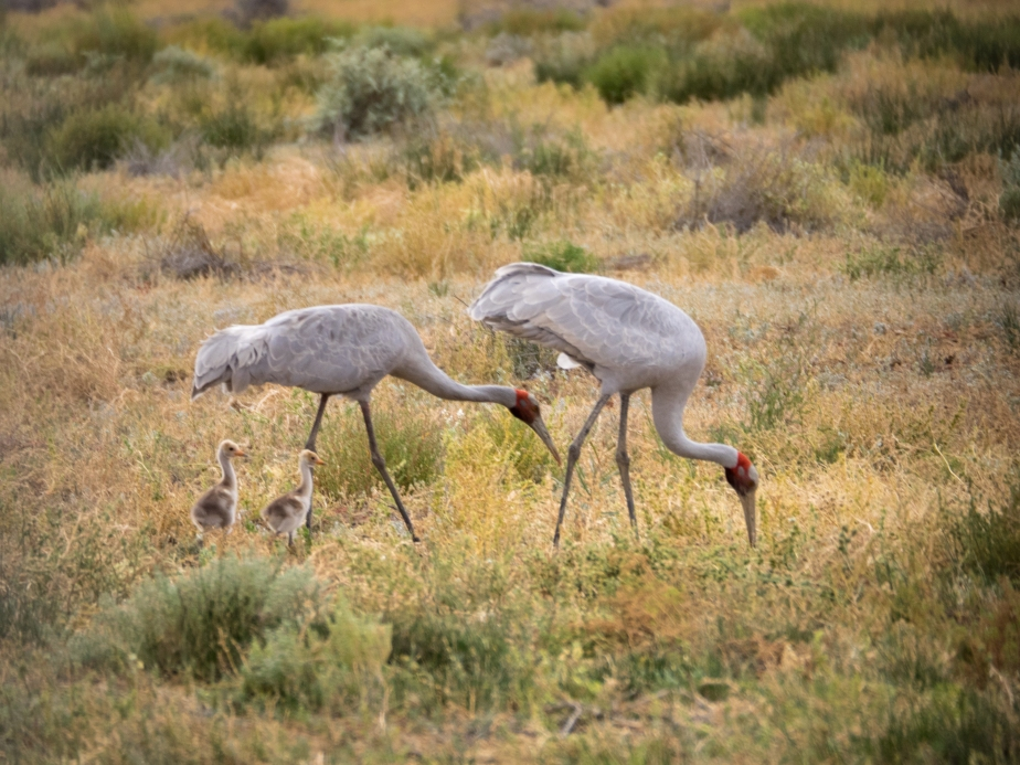 Brolga with chicks